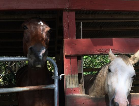 saddled horse